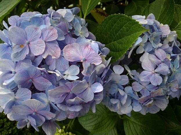 長峰公園の青紫アジサイ(7月10日)