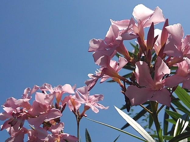 ピンクの花(7月18日)