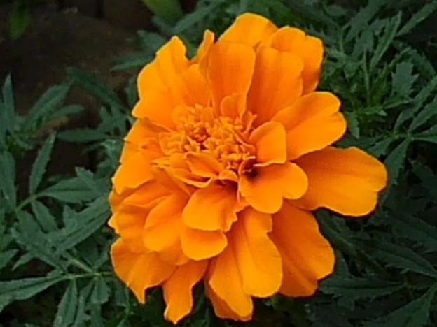 橙マリーゴールド(7月26日)