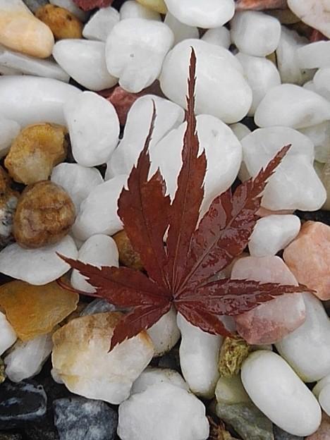 白い石と赤い葉(7月30日)