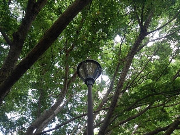 ゆうゆうパークの丘の青モミジと街灯(7月24日)