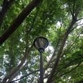 Photos: ゆうゆうパークの丘の青モミジと街灯(7月24日)