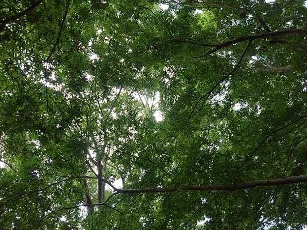 ゆうゆうパークの丘の青モミジの天井(7月24日)
