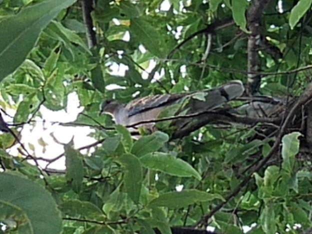 街路樹の上のハト(7月31日)