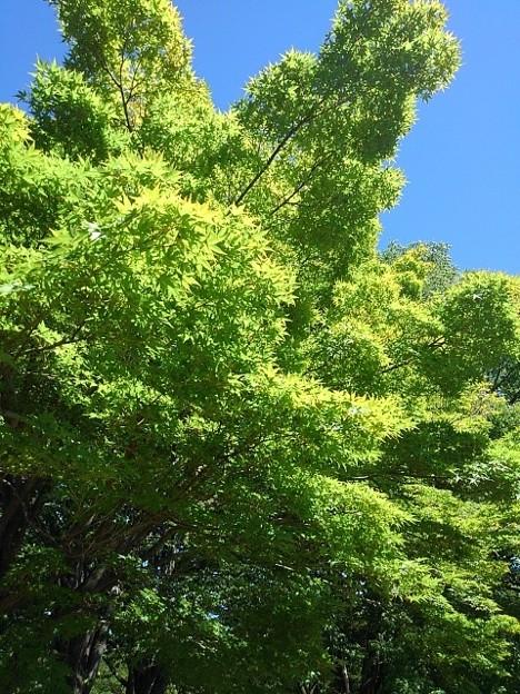 長峰公園のモミジ(8月10日)