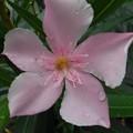 Photos: ピンクの花(8月9日)