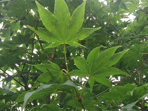 葉が綺麗な青モミジ(8月9日)