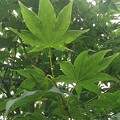 Photos: 葉が綺麗な青モミジ(8月9日)