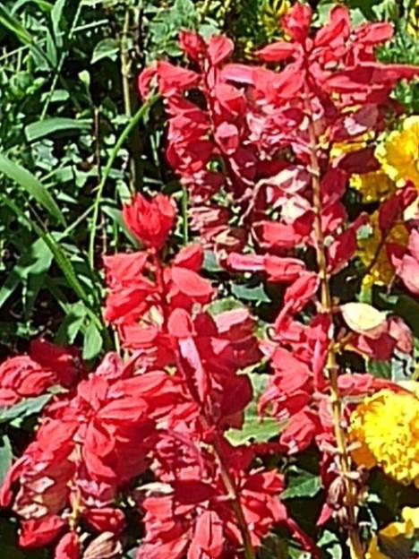 長峰公園の赤いサルビアの花(8月10日)