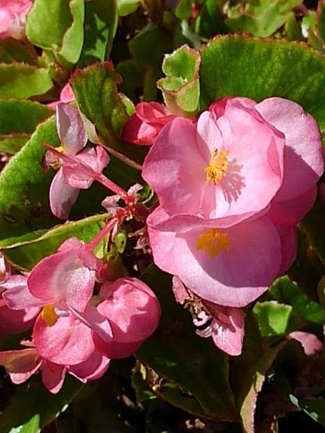 長峰公園のピンクのベゴニア(8月10日)