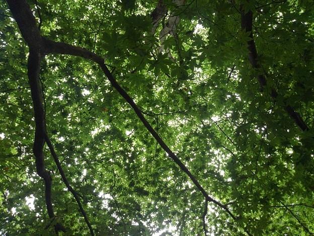 烏ヶ森公園の丘の青モミジの天井(8月12日)