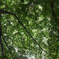 Photos: 烏ヶ森公園の丘の青モミジの天井(8月12日)