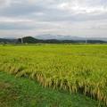 Photos: 水田地帯(8月31日)