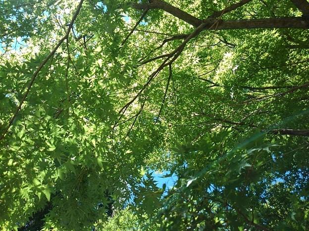 長峰公園の青きモミジの葉(8月10日)