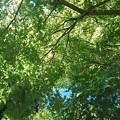 Photos: 長峰公園の青きモミジの葉(8月10日)