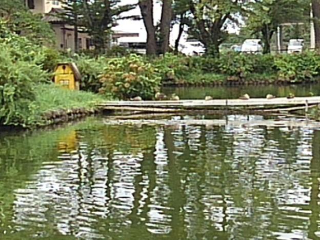 烏ヶ森公園のカモの休憩所(8月12日)