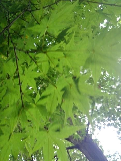 川崎城跡公園の丘のモミジの葉(8月28日)