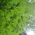 Photos: 川崎城跡公園の丘のモミジの葉(8月28日)