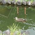 烏ヶ森公園の池の岸辺近くを泳ぐカモ(8月12日)