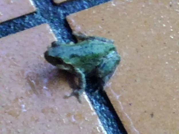 夜の蛙(9月8日)