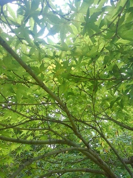 川崎城跡公園の平地のモミジ(8月28日)
