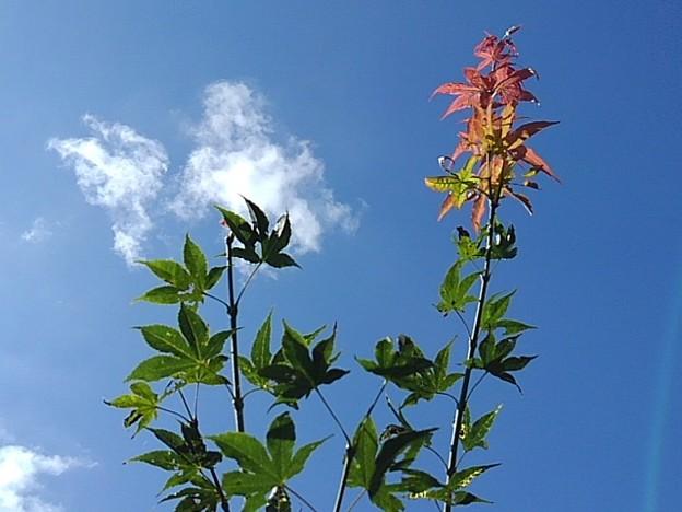 赤い葉もある庭のモミジ(9月7日)