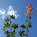 Photos: 赤い葉もある庭のモミジ(9月7日)
