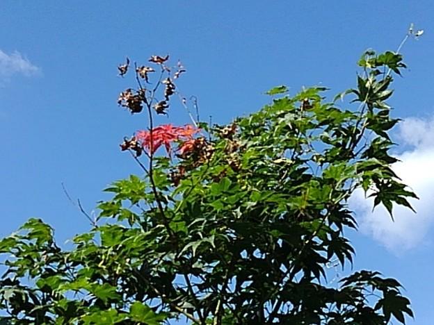 庭のモミジの高い位置(9月7日)