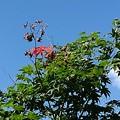 Photos: 庭のモミジの高い位置(9月7日)