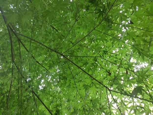Photos: 川崎城跡公園の丘のモミジの天井(8月28日)