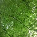 川崎城跡公園の丘のモミジの天井(8月28日)