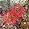 街路樹とヒガンバナ(9月15日)