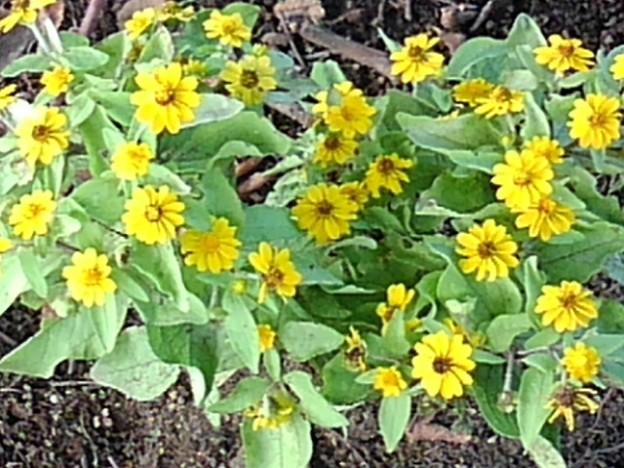 長峰公園の黄色い花(9月10日)