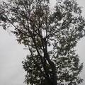 ベイシア前の街路樹(9月12日)