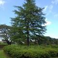 Photos: 長峰公園の大きな木(9月10日)