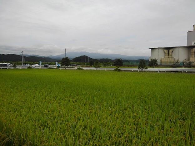 コンビニ駐車場から見えた水田(9月14日)