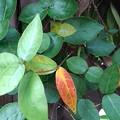 庭の葉(9月14日)