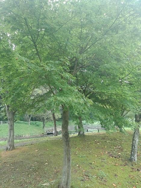 川崎城跡の平地の緑モミジ(8月28日)
