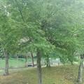 Photos: 川崎城跡の平地の緑モミジ(8月28日)