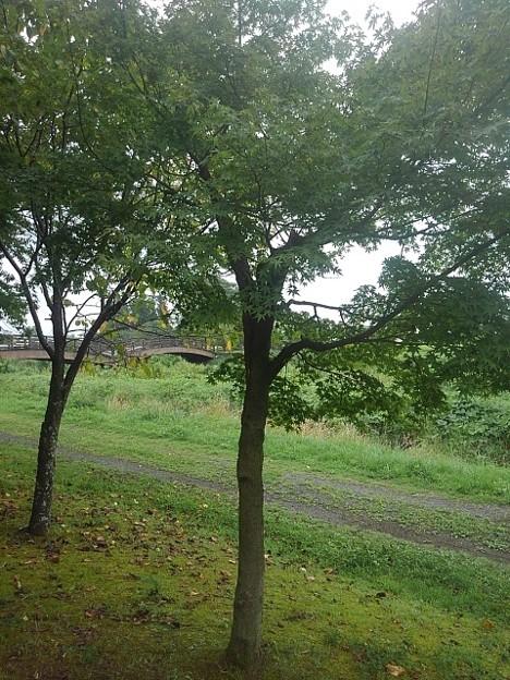 川崎城跡の奥に橋が見えるモミジ(8月28日)