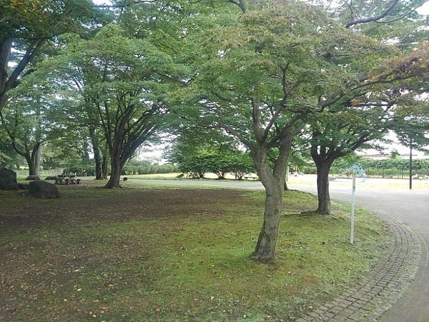 落ち着きそうな長峰公園のモミジ(9月10日)