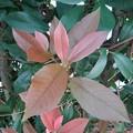Photos: 赤と緑の葉(9月17日)