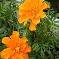 橙マリーゴールド(9月2日)