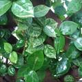 雨に濡れた小さな葉(9月18日)