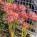 ヨークベニマルの花壇のヒガンバナ(9月20日)