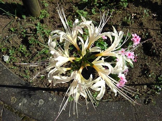 ヨークベニマルの花壇の白いヒガンバナ(9月20日)