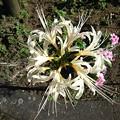 Photos: ヨークベニマルの花壇の白いヒガンバナ(9月20日)