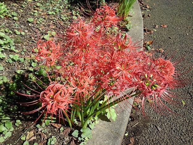 長峰公園の花壇のヒガンバナ(9月19日)