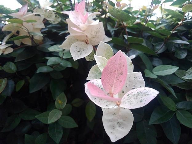 白とピンクの葉(9月12日)