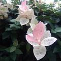 Photos: 白とピンクの葉(9月12日)
